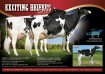 Exciting Heifers Sell
