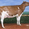 Stoneden Fools Gold Red VG-88-CAN 3yr.