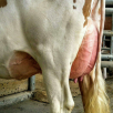 Rear Udder DG BELLE RED 2nd Lactation