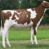 Powers Atwrk Vanessa-Red #2 GTPI R&W heifer in Europe
